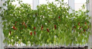 Выращивание перца чили на пооконнике